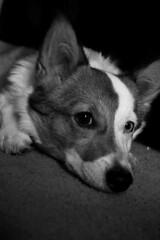 Winnie (Fleagirl125) Tags: blue white black cute eye 20d canon corgi winnie