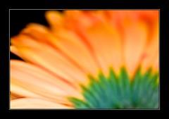 Gerbera (Mihaela Limberea) Tags: park orange flower macro closeup canon garden photography flora gerbera mueller canoneosd60 orangeflowers ef100mmf28macrousm orangegerbera limberea
