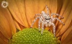 Spider (RASHID ALKUBAISI) Tags: macro nikon n 8 f2 28 nikkor nano f28 d3 doha qatar rashid d4 105mm      d3x nikond4 alkubaisi d3s   ralkubaisi mygearandme wwwrashidalkubaisicom