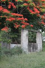 flamboyant tree (roselings) Tags: tree ruins flamboyan