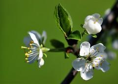 Plum ahoy! (nikkorglass) Tags: macro home closeup garden spring nikon blossom sweden may plum micro sverige nikkor f28 vr 2012 hemma maj trädgård vår d300 närbild plommon 105mmvr nikkorglass blommning