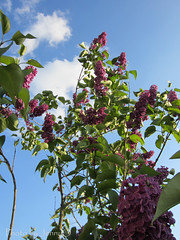 Purple Flowering Bush (Jen.Ostrander) Tags: flowers sky flower tree nature beauty clouds purple bee purpleflower walkhome lavendar floweringbush lupburg slingarm