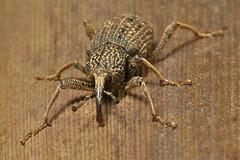 Japanese Giant Weevil (Sipalinus gigas, Curculionidae) (John Horstman (itchydogimages, SINOBUG)) Tags: china macro insect beetle yunnan weevil coleoptera curculionidae itchydogimages sinobug