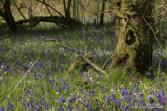 Stumped (DMeadows) Tags: trees flower nature floral grass bluebells rural forest woodland scotland countryside spring woods country stump bluebell trossachs treestump glade springtime clearing aberfoyle tamronaf55200mmf456diiild davidmeadows dmeadows davidameadows dameadows yahoo:yourpictures=yourbestphotoof2012
