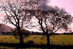 Trees in Ulster (The Big Jiggety) Tags: ireland tree arbol erin eire pasture lea arbre baum bucolic ulster bucolico bucolique paturage oltusfotos