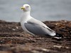 "Herring Gull • <a style=""font-size:0.8em;"" href=""http://www.flickr.com/photos/29675049@N05/7359890406/"" target=""_blank"">View on Flickr</a>"
