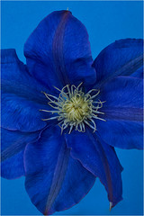 Blue Clematis (Clive1945) Tags: flower nikon hdr d5000 oloneo ainikonmicronikkor55mmf35