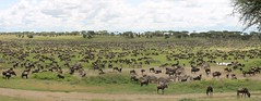 Migration Ndutu (jnyaroundtheworld) Tags: africa animals tanzania wildlife lion ngorongoro crater zebra giraffe massai serengeti animaux girafe afrique faune zbre tanzanie greatmigration wetseason manyaralake ndutu felins masa lacmanyara saisondespluies grandemigration