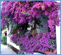 BOUGAINVILLEA (kontinova2) Tags: tree violet bougainvillea greece thegalaxy coth5 mygearandme mygearandmepremium mygearandmebronze mygearandmesilver mygearandmegold mygearandmeplatinum ringexcellence flickrstruereflection1 flickrstruereflection2