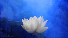 White Lotus Flower Surreal series - DD0A7194-2-1000 Lotus Flower with Blue background / blue /color blue / blue color / blue / nature /  - Yoga - زهرة اللوتس, ハスの花, 莲花, گل لوتوس, Fleur de Lotus, Lotosblume, कुंद, 연꽃 (Bahman Farzad) Tags: blue white flower nature fleur yoga de peace lotus relaxing surreal peaceful series meditation therapy colorblue 莲花 bluecolor 연꽃 कुंद lotosblume fleurdelotus ハスの花 زهرةاللوتس گللوتوس lotusflowerwithbluebackground whitelotusflowersurrealseriesdd0a719421000lotusflowerwithredbackgroundbluecolorbluebluecolorbluenatureyogaزهرةاللوتس