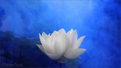 White Lotus Flower Surreal series - DD0A7194-2-1000 Lotus Flower with Blue background / blue /color blue / blue color / blue / nature /  - Yoga -  , , ,  , Fleur de Lotus, Lotosblume, ,  (Bahman Farzad) Tags: blue white flower nature fleur yoga de peace lotus relaxing surreal peaceful series meditation therapy colorblue  bluecolor   lotosblume fleurdelotus    lotusflowerwithbluebackground whitelotusflowersurrealseriesdd0a719421000lotusflowerwithredbackgroundbluecolorbluebluecolorbluenatureyoga