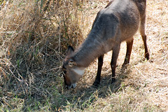 Victoria Falls_2012 05 24_1675 (HBarrison) Tags: africa hbarrison harveybarrison tauck victoriafalls zimbabwe zambeziriver mosioatunya waterbuck taxonomy:binomial=kobusellipsiprymnus