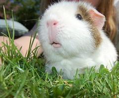In memory of Meg (Sharpie314) Tags: garden guinea pig cavy meg memory