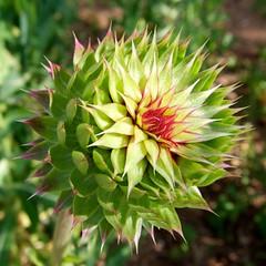 Thistle Flowerhead  (beautifulcataya) Tags: summer flower wisconsin thistle asteraceae cirsiumvulgare