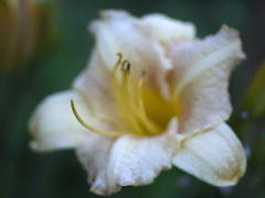 _1140554 (Old Lenses New Camera) Tags: flowers plants garden cine panasonic telephoto daylily g1 f25 wollensak raptar 63mm 212inch