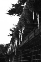 Icicles (RobertWitcher) Tags: camera uk greatbritain roof england blackandwhite bw white snow black color colour green london robert film ice water analog digital canon lens photography photo moss nikon unitedkingdom ae1 britain united great shed kingdom rob photograph dorset melt analogue dslr canonae1 bournemouth icicles hertfordshire watford rickmansworth croxley croxleygreen witcher nikondslr d3100 nikond3100 robwitcher robertwitcher rob47ww
