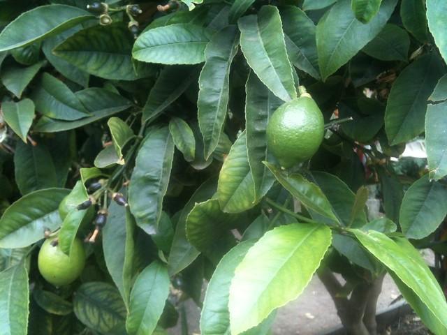 Meyer Lemons in the Howard Langton Community Garden