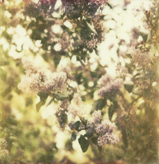 ceanothus (lawatt) Tags: flower film polaroid cool ceanothus slr680 blooming theimpossibleproject px680