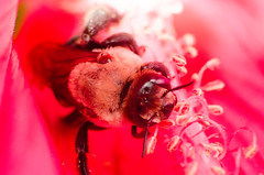 Bumble Bee and hibiscus (mjustiniano1) Tags: red flower color macro gardens closeup butterfly insect botanical photography fly dc washington nikon colorful vibrant moth petal bee hibiscus tiny 200 micro pollen bumble antenna 70300 magnification pollination marumi extensiontubes lensadapter achromat d7000 eyewing