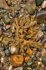 Seaweed And pebbles (Fine Art-I) Tags: ocean seaweed beach nature wet stone tide fineart smooth vivid pebbles erosion round seashore hdr photomatix