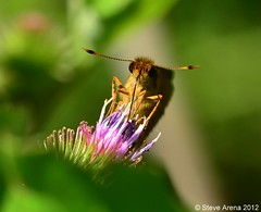 Broad-winged Skipper (Poanes viator) (Steve Arena) Tags: butterfly skipper broadwingedskipper