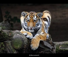 beauty and power I (bernd obervossbeck) Tags: portrait canon zoo tiger siberiantiger amurtiger animalportrait raubkatze sibirischertiger klnerzoo tierportrait mygearandme mygearandmepremium mygearandmebronze mygearandmesilver mygearandmegold mygearandmeplatinum mygearandmediamond