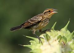 female Red-winged Blackbird (AllHarts) Tags: memphistn shelbyfarms femaleredwingedblackbird awesomebirds pogchallengewinnershalloffame feathersandbeaks stunninganimalsandbirds