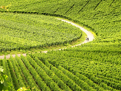 Curve in Vineyards (Habub3) Tags: park street travel people holiday green texture nature canon germany garden landscape deutschland vineyard reisen europa europe pattern stuttgart urlaub natur powershot curve landschaft vacanze 2012 weinberg kurve g12 beutelsbach habub3 mygearandme flickrhivemindgroup