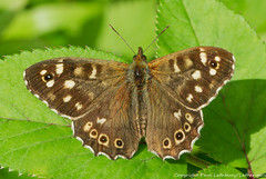 IMG_0001 Speckled Wood (Pararge aegeria tercis), Snitterfield Bushes, Warwickshire 14June12 (Lathers) Tags: butterfly warwickshire speckledwood snitterfieldbushes canon7d canonef100f28lisusmmacro wkwt 14june12 parargeaegeriatercis