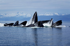 Humpback Whales Bubble Net Feeding in Alaska (Tony Wu Underwater Photography) Tags: usa alaska juneau humpbackwhale megapteranovaeangliae chathamstrait