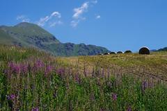 six (jazzon1963) Tags: flowers estate fiori montagna valdaosta prati
