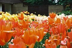 000032 (seustace2003) Tags: keukenhof nederland niederlande holland pays bas paesi bassi an sitr tulip tulp tulipan tiilip tulipa