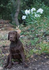 LOUKA-07346 (angeconsales) Tags: animal chien labrador chocolat