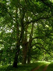 Im Naturschutzgebiet Zerninseesenke; Usedom a (241) (Chironius) Tags: usedom mecklenburgvorpommern meklemburgiapomorze uznam deutschland germany allemagne alemania germania    ogie pomie niemcy pomienie rosids malvids sapindales seifenbaumartige sapindaceae seifenbaumgewchse hippocastanoideae rosskastaniengewchse acer ahorn baum bume tree trees arbre  rbol arbres  rboles albero  rvore aa boom trd