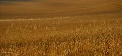 Ready for harvest? (I) (Modesto Vega) Tags: field wheat campo trigo harvest cosecha pattern texture golden dorado texturaagriculture agricultura surrey nothdowns northdownsway nikon nikond600 fullframe