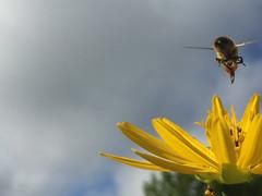 Honey bee, unedited, iPhone