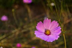 DSC_0103 (Joyjit Kundu) Tags: flower purple spring winter nikon d5500 18140mm