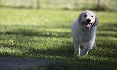 Hank6 (TaylorB90) Tags: taylor bennett taylorbennett canon 5d 5d3 7020028isii 70200 28 is ii 135l 135mm sharp golden retriever puppy goldenretriever goldenretrieverpuppy hank hoyt play cute animals puppies dogs farm