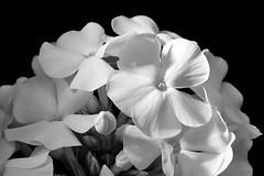 Phloxes (bw) (G. Lang) Tags: blackwhite monochrome schwarzweis blumen blossom blüte bw blüten flowers einfarbig blackandwhite noiretblanc fleurs phlox flammenblume macromondays flowersinblackwhite