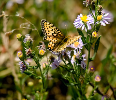 Butterfly and Wildflowers in the Tetons (rich wich) Tags: butterflies teton