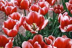 000034 (seustace2003) Tags: keukenhof nederland niederlande holland pays bas paesi bassi an sitr tulip tulp tulipan tiilip tulipa