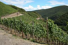 ckuchem-1451 (christine_kuchem) Tags: ahrtal anbau anbaugebiet eifel felsen rotweinwanderweg schiefer schieferfelsen sommer weinanbau weinberg weintraubenanbau weintrauben