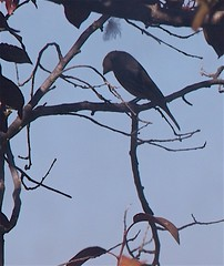 Birdwatching 20141003 (caligula1995) Tags: 2014 birdwatching finch plumtree