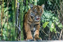 Debbie contemplating swimming (ToddLahman) Tags: debbie joanne teddy sandiegozoosafaripark safaripark canon7dmkii canon canon100400 sumatrantiger babysumatrantiger tigers tiger tigertrail tigercub escondido pond exhibitb