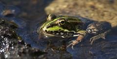 Iberian water frog ~ Pelophylax perezi (Cosper Wosper) Tags: iberianwaterfrog pelophylaxperezi hamwall somerset levels