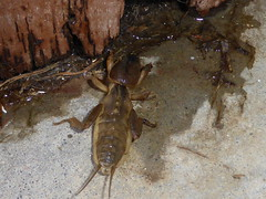 Monster in the Laundry 2 (tessab101) Tags: insect bug digging australia penrith nsw mole cricket gryllotalpa