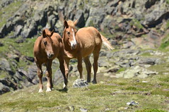 Foals in the wild (HervelineG) Tags: foal poulain chevaux pyrnes andorre sauvage wild estanysdetristaina andorra friends d7000 ordino montagne 2400m