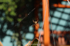 IMG_4008 (xguilex) Tags: spider aranha insect inseto