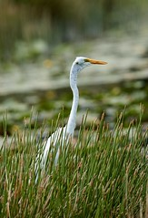 Aug 16 20168626 (Lake Worth) Tags: animal animals bird birdwatcher birds canonef500mmf4lisiiusm canoneos1dxmarkii everglades feathers florida nature outdoor southflorida waterbirds wetlands wildlife wing