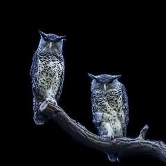 together (armin boenisch) Tags: eulen eule owl owls bird birds animals tierpark berlin friedrichsfelde